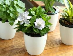 栀子花盆栽室内绿植