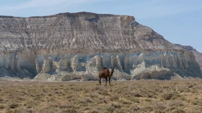Kamele in Mangystau Kasachstan