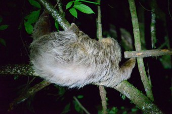 Sloth - can't see the baby unfortunately!