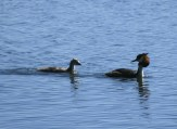 Grebe chick with parent