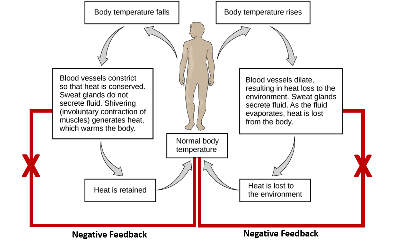 2 Body Systems That Work Together To Maintain Homeostasis