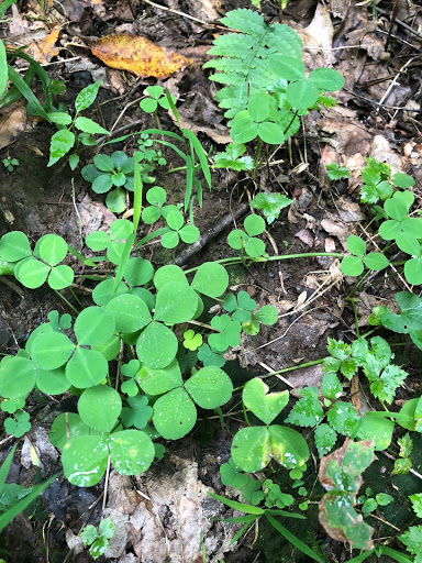 A patch of Running Buffalo clover.