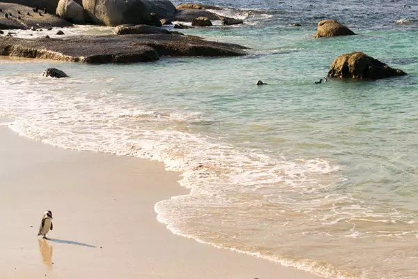 Would-Be-Traveller-Boulders-Beach-penguins