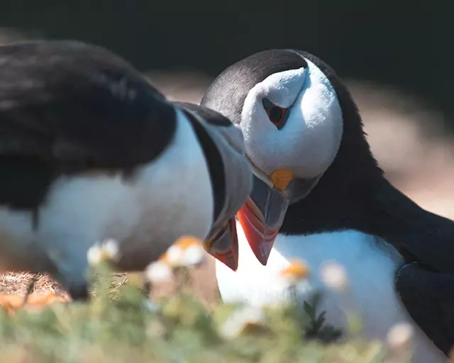 Would Be Traveller Puffins greeting eachother on Skomer Island