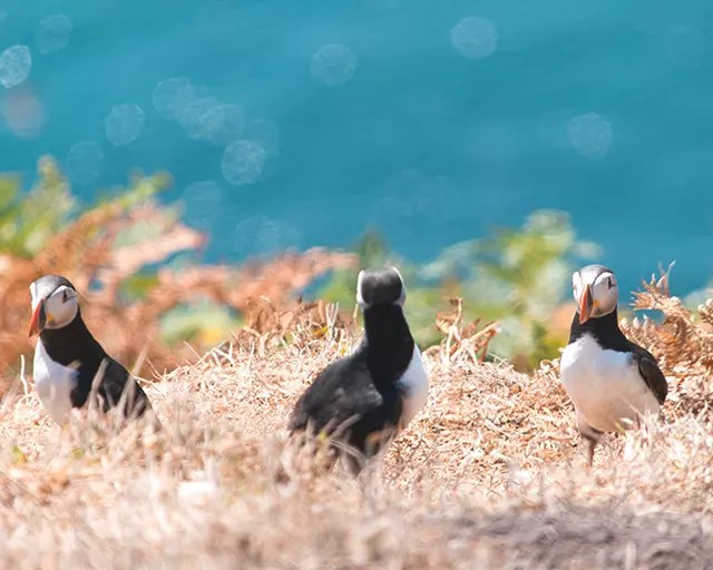 Would Be Traveller Puffins on Skomer Island