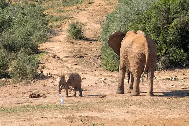 Would Be Traveller Wildlife Encounters in South Africa Baby Elephants