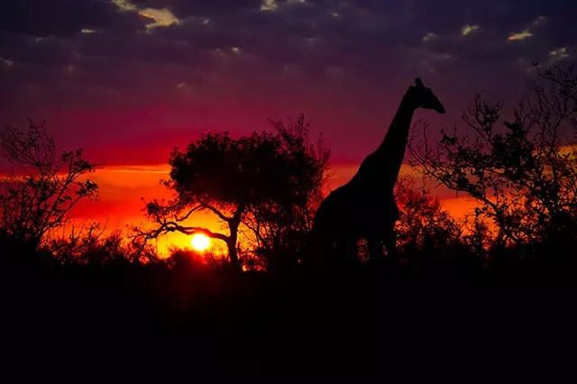 Would Be Traveller Wildlife Encounters in South Africa Giraffe Silhouette
