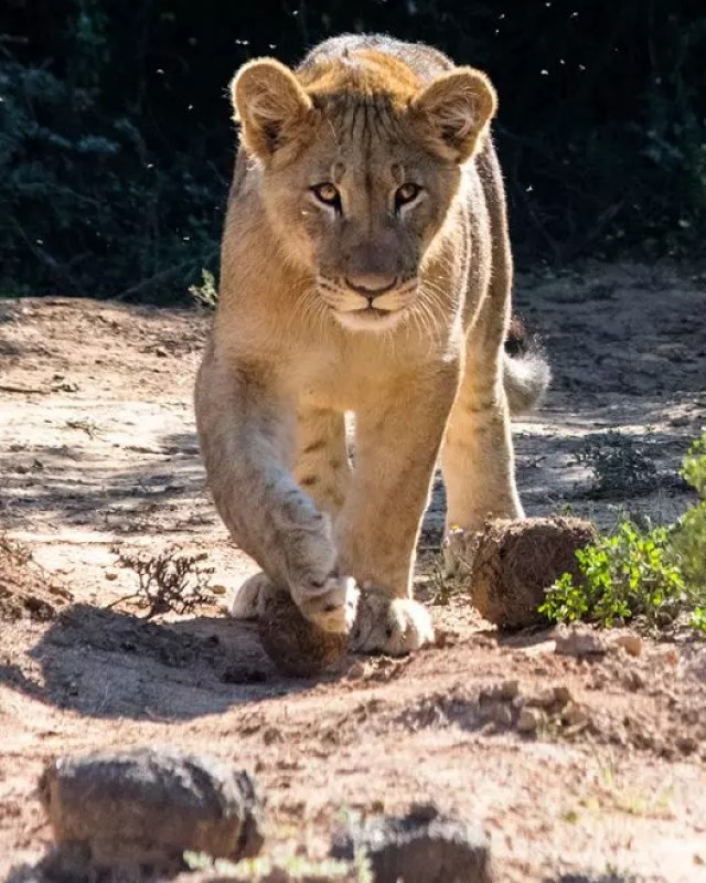 Would Be Traveller Wildlife Encounters in South Africa Lion