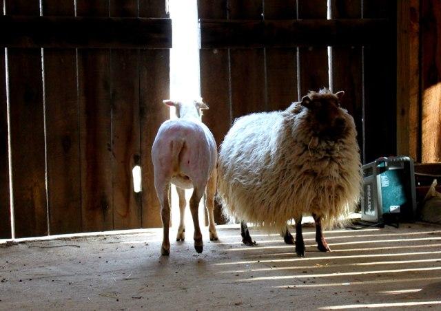 laura-unique-sheep2