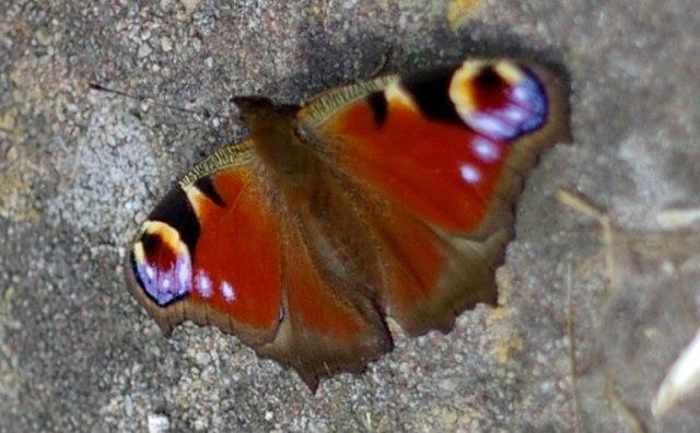 15-butterfly