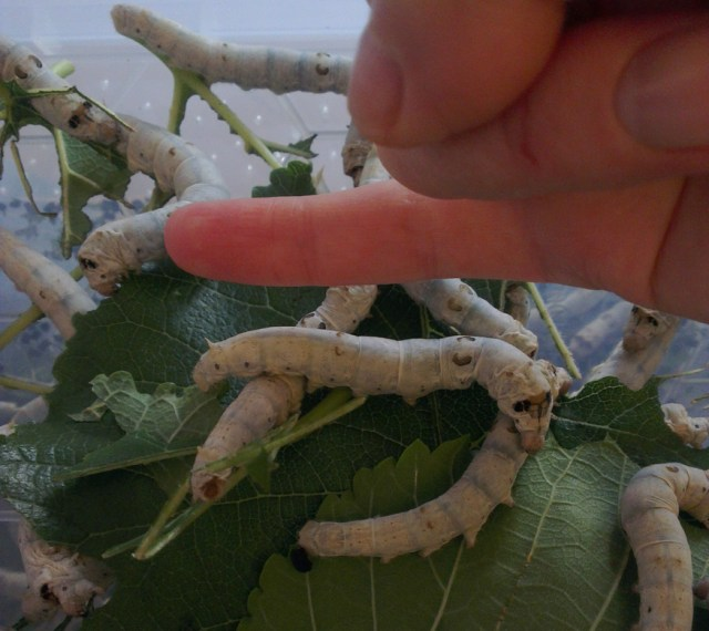 Three to four weeks old the silkworms were the size of my little finger!