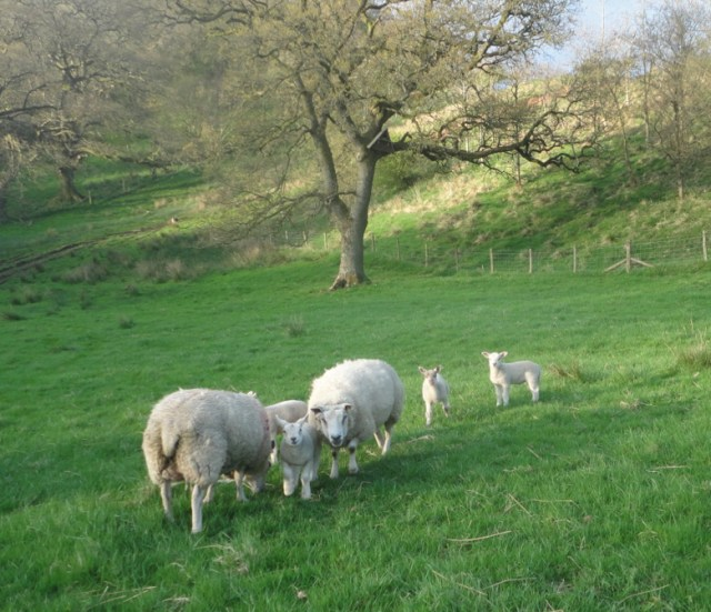 soft fells and lambs