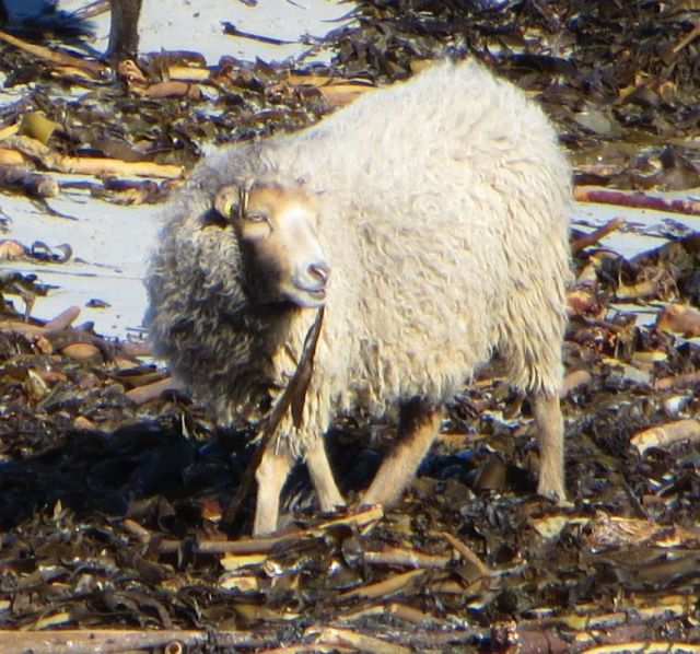 North Ronaldsay sheep enjoying seaweed
