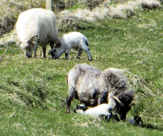 11-Lambs born