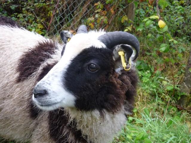 Jake the sheep