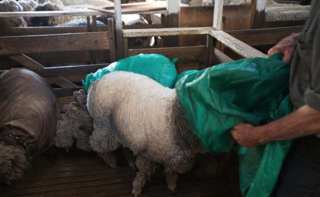 Removing the coat to reveal a much cleaner fleece underneath (the sheepy equivalent of a farmer's tan!)