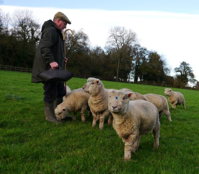 Shepherd Graham Langford feeding Southdown ram lambs