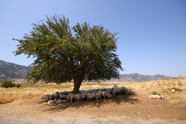 'Sheep resting under a tree in Greece, Crete' - image found on Wiki Commons and attributable to Miguel Virkkunen Carvalho