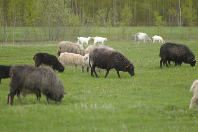 The mixed flock of Joel and Julika's beautiful flock of sheep at Jaani Talu, Estonia
