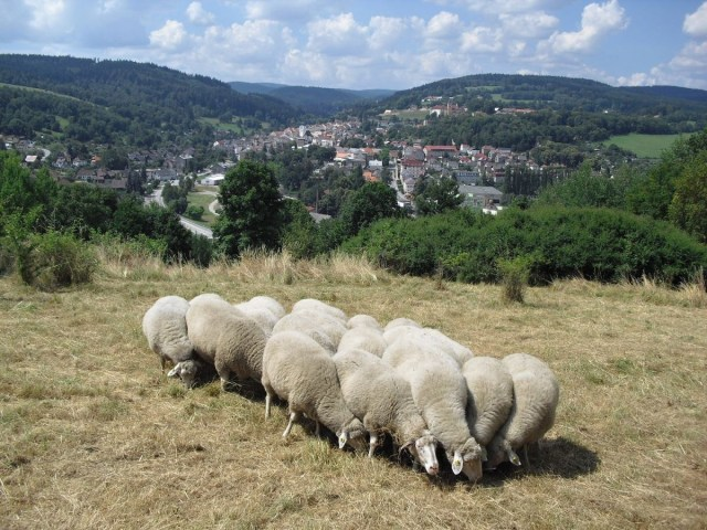 Šumava sheep, photographed by James Hromas of the Czech Union for Nature Conservation Forest