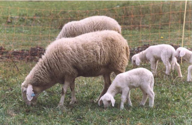 La Pecora Sambucana - the Sambucana sheep, saved from extinction. Image taken from this amazing article on the breed from The Wool Box blog