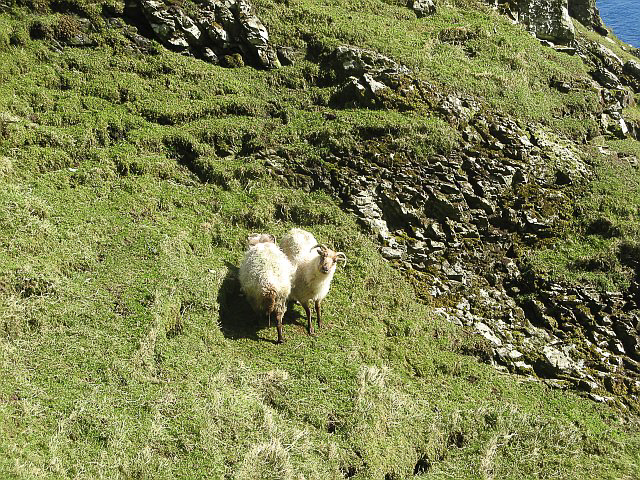 Boreray sheep on Boreray island photographed 12 April 2009 by Richard Webb and shared on Wikimedia Commons using Creative Commons Attribution 2.0 Generic license here
