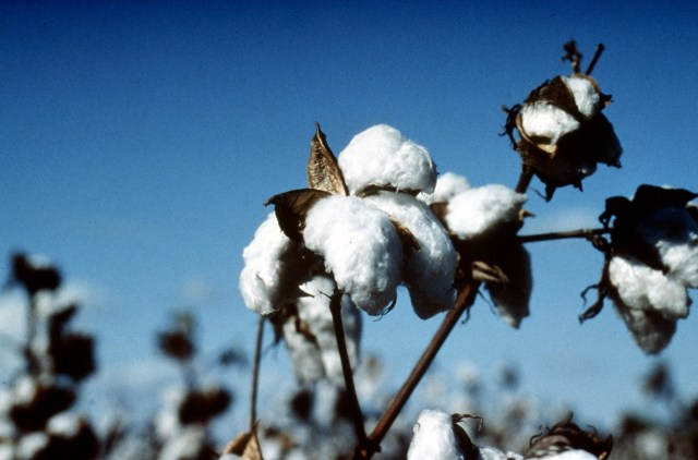 close up of cotton on a cotton plant