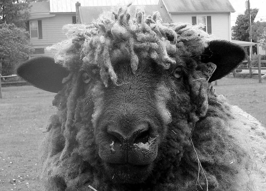 "Amy Undercoffler ""as wooly as they come"