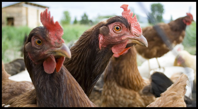 Poultry Feed - Featured Image