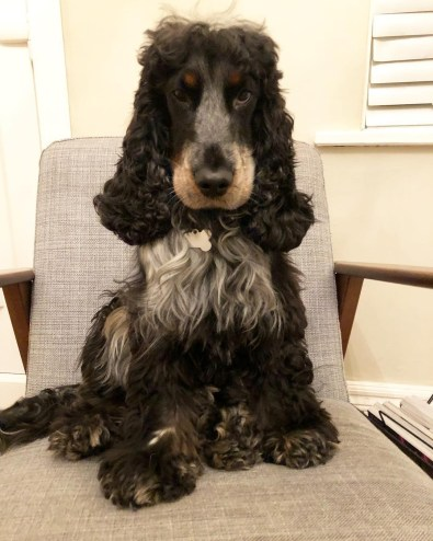 A spaniel called Barney sitting on a chair