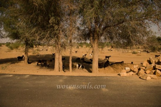 Images of Thar Desert Rajasthan India
