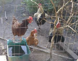 Chickens and roosters with food and water