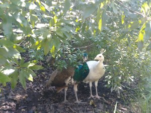 white peahen and turquoise peacock