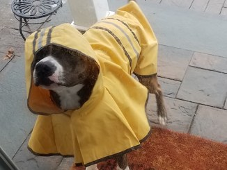 dog in raincoat