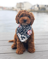 Dog wearing Yankees bandana