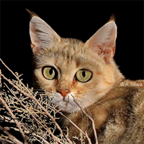 North African wildcat