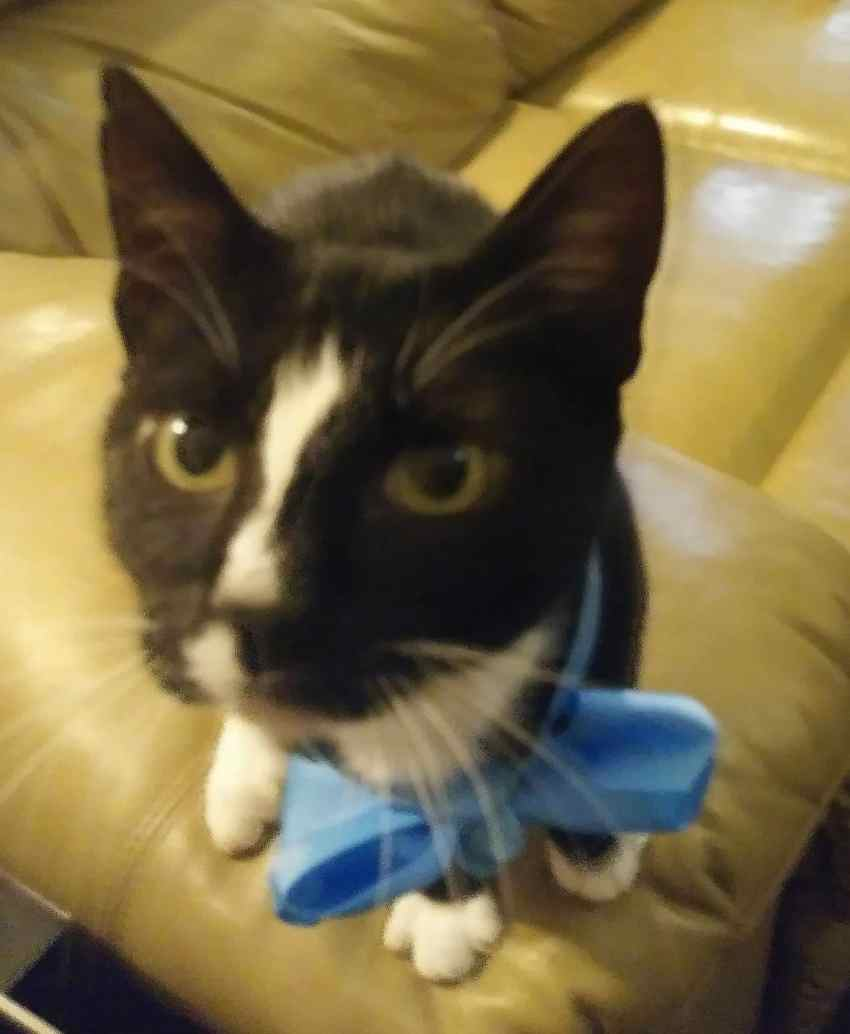 cat with blue bow
