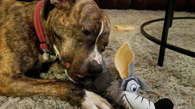 Dog chewing chew toy