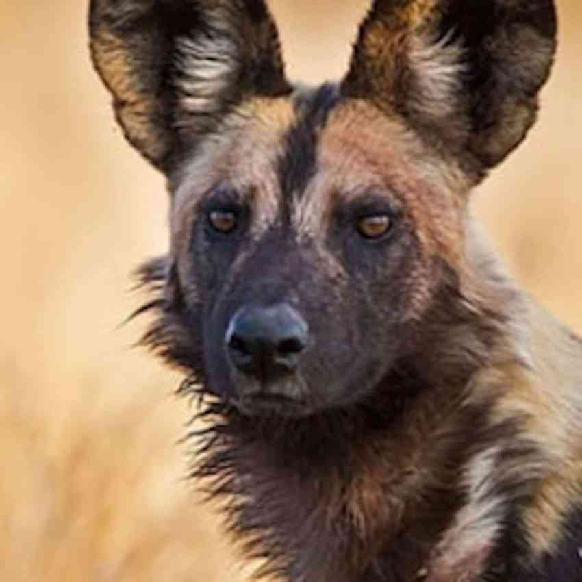 ears, face and shoulders of wild dog