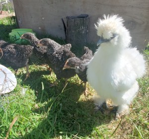 four chicks and adult Silkie hen