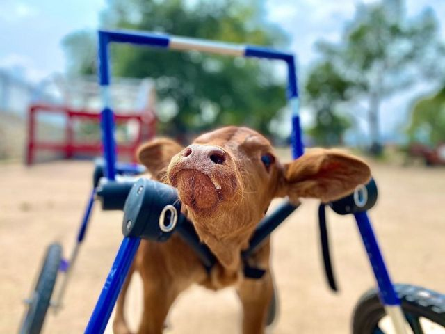 cow in wheelchair