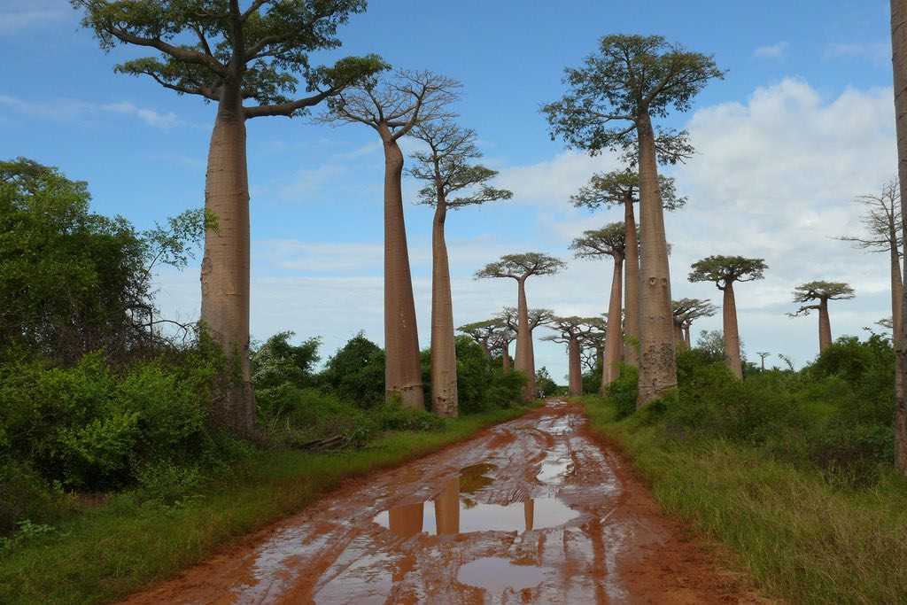 Avenue of the Baobabs, Madagascar - by Rita Willaert:Flickr