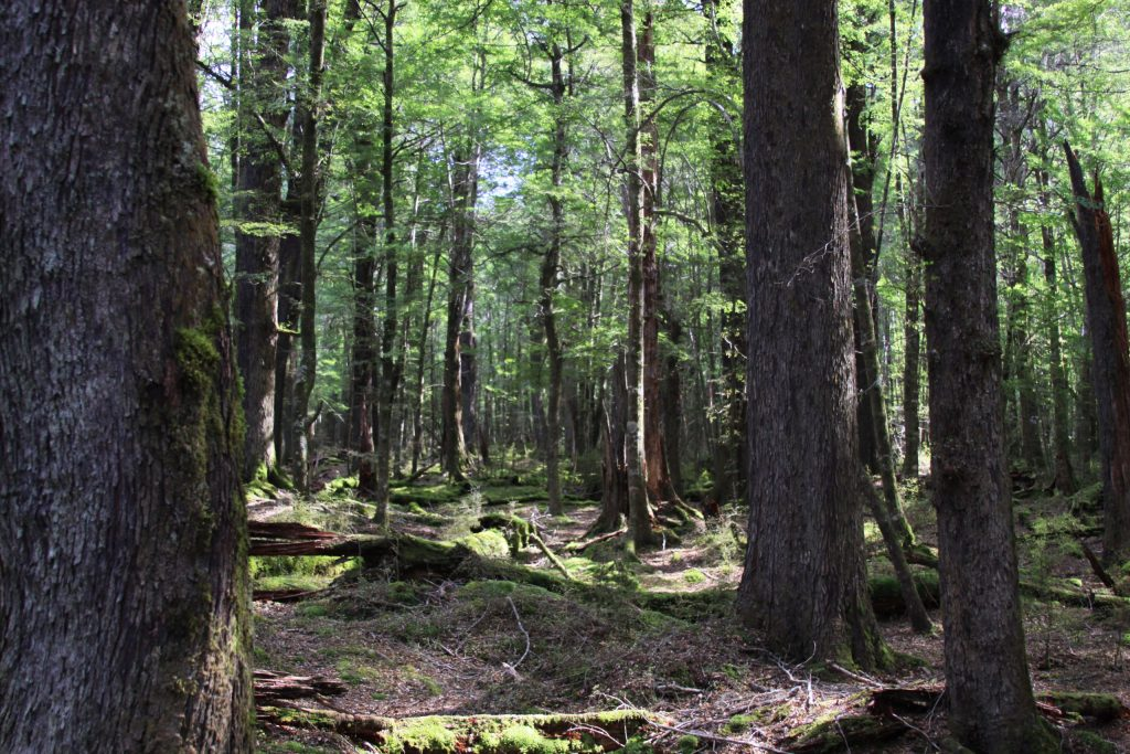 This old growth forest is where, in the films, Hobbits were captured by Orcs.