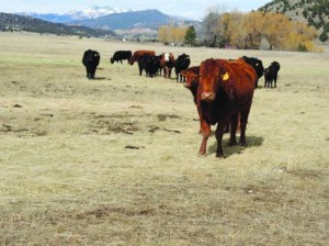 Cattle graze on the CB Ranch at Coaldale, which has been purchased by the Security Water and Sanitation District for the water rights. Courtesy Pueblo Chieftain