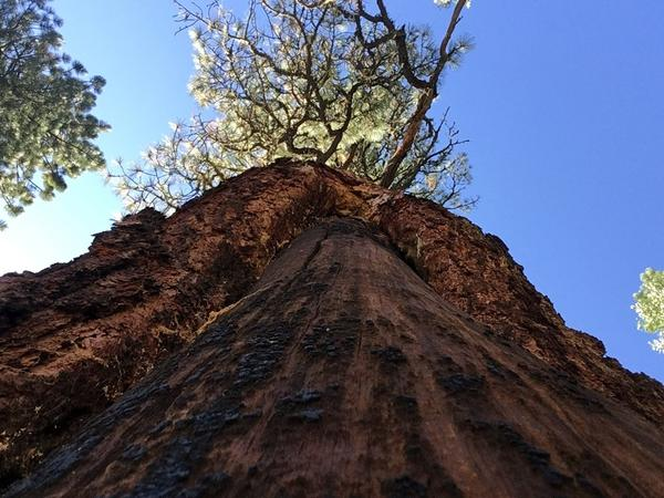 Trees like this Ponderosa pine, with its bark peeled in a specific way, are scattered across the Rocky Mountain region.