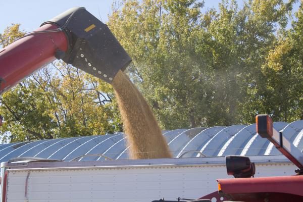 Freshly harvested soybeans are transferred from a grain cart to a semi on a farm near Randall, Iowa in October 2018.
