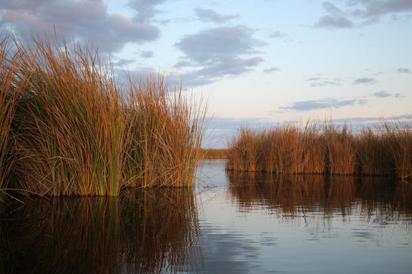 Tall grasses rise from the shallow water at the Cienega de Santa Clara in Sonora, Mexico.