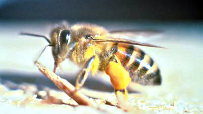 <p>Side view of the Africanized honey bee.</p>