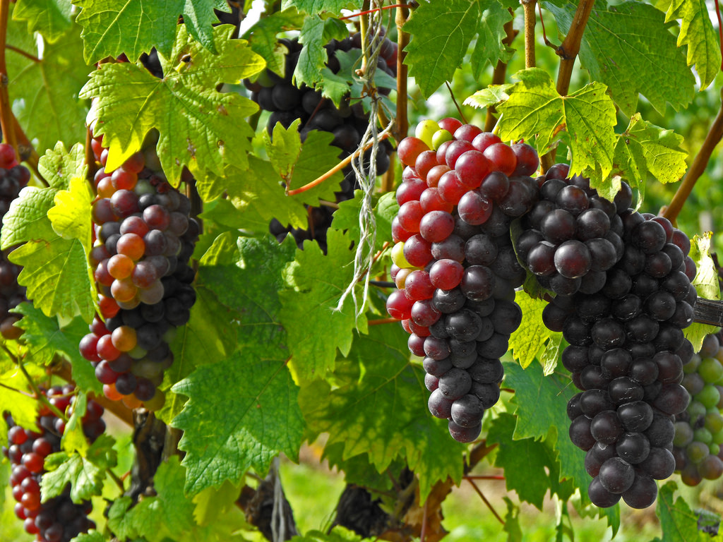 <p>Grapevines in a healthy state.</p>