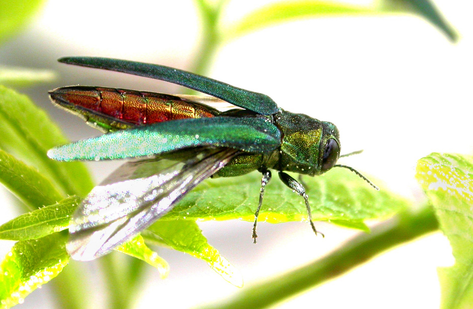 <p>The emerald ash borer kills ash trees in America's forests and backyards.</p>